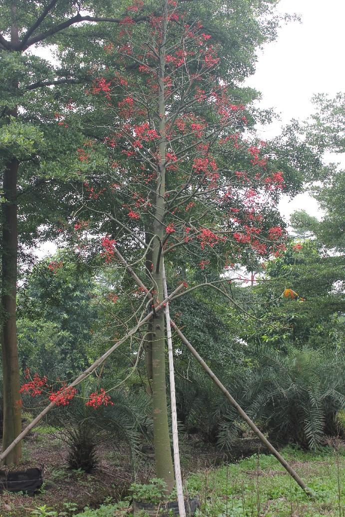 花木社区—澳洲火焰木的习性及园林应用—花木商情网