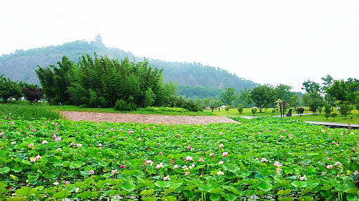 花木社区—上海辰山植物园2万多平方荷莲进入夏季