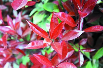 红叶石楠种植量第一七大绿化灌木数它 红