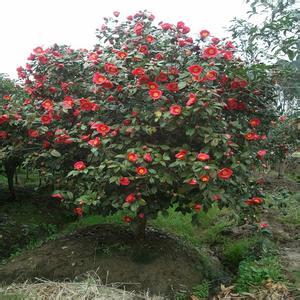 台湾方面将提供茶花种植技术指导