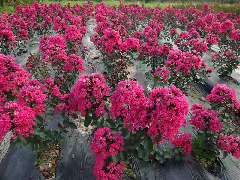 花木社区—美国天鹅绒紫薇