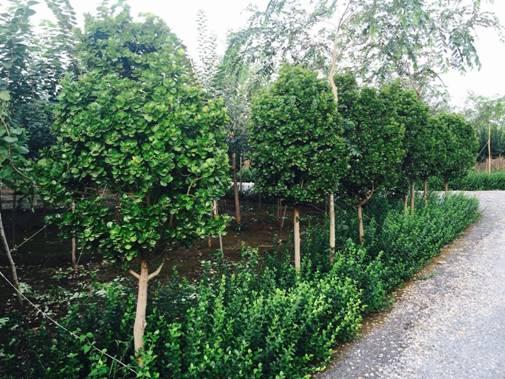 2、新疆大叶榆 规格:35cm 数量:50000棵 特征:2年苗,4米高 价格:面议 新疆大叶榆:原产于欧洲,新疆引种栽培时间较早。耐寒、耐旱、抗风沙、抗病虫害强、生长速度快,冬季可耐零下40低温,被乌鲁木齐市定为市树,是城市绿化优良树种之一。