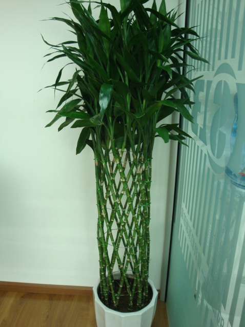 :发财树-十八种最适宜室内盆景