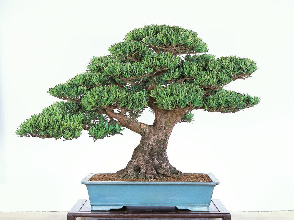 双杆式榆树盆景
