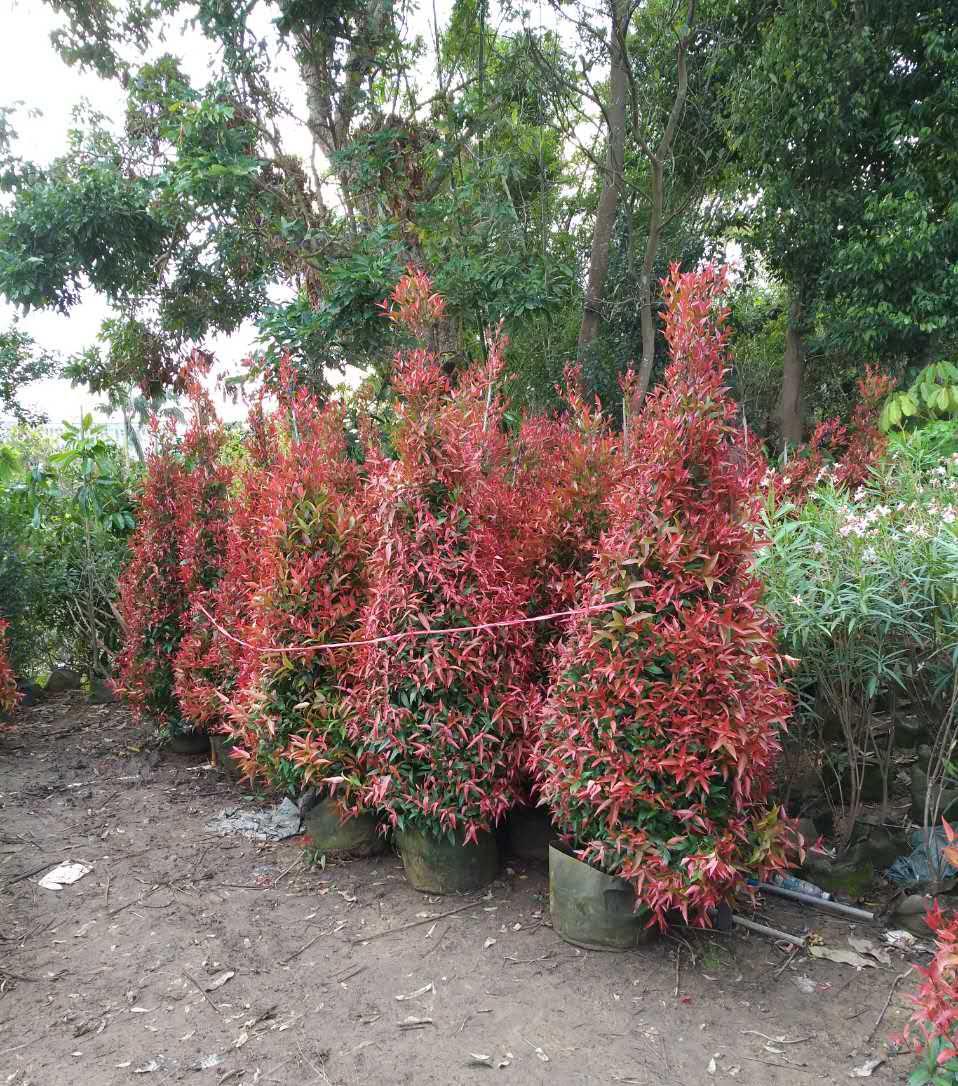 在风景区内,可将红车群植成大型红树林的壮丽彩色景观.