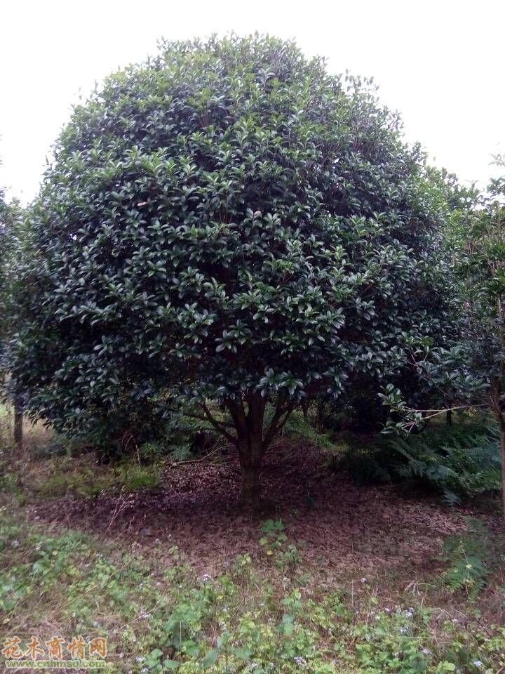 桂花-桂林大树苗木―国内最大最便宜的桂花树基地,桂花树量大质优、价格优惠!