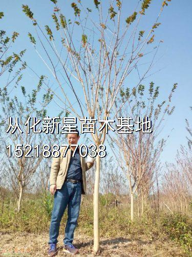 广州从化小叶紫薇