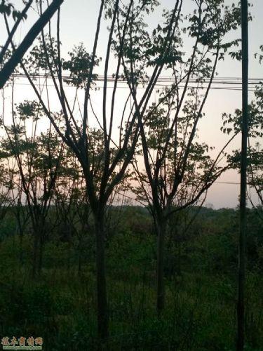 湖南长沙栾树
