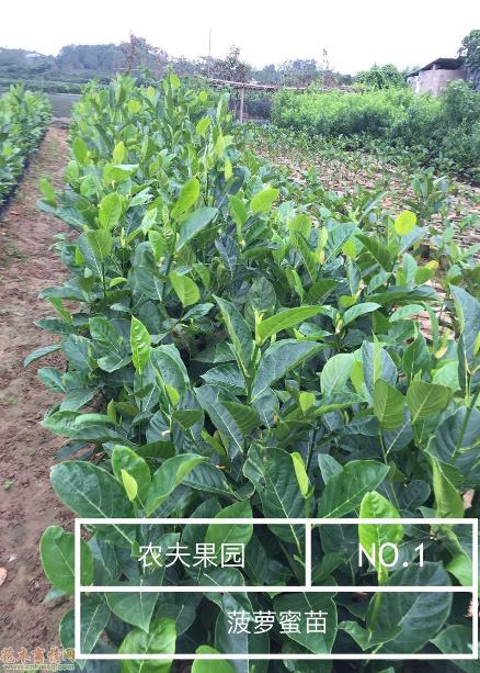 福建漳州菠萝蜜