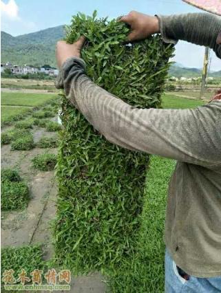 广东广州大叶油草
