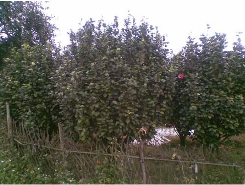 福建泉州茶花
