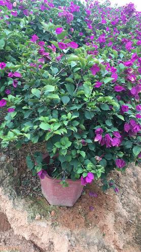 福建漳州紫花勒杜鹃