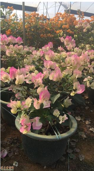 福建漳州三角梅