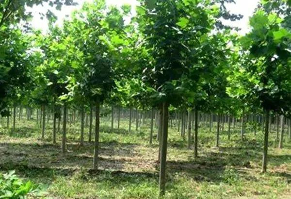 速生白腊:园林绿化中几种常见速生树种