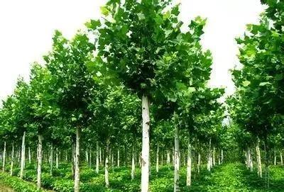 速生法桐:园林绿化中几种常见速生树种