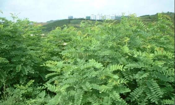 大叶速生槐:园林绿化中几种常见速生树种