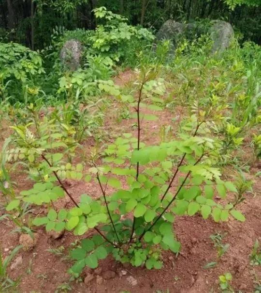 速生新品引进实验:园林绿化中几种常见速生树种